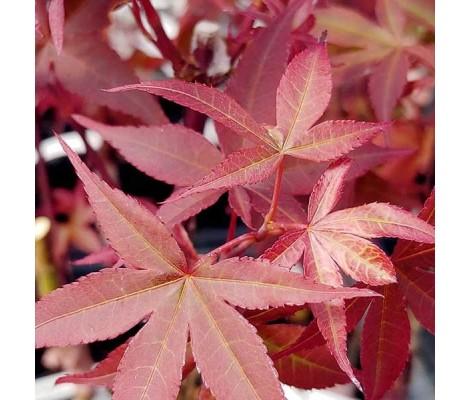 Acer Palmatum Twombly's Red Sentinel  Ø19cm H40 cm