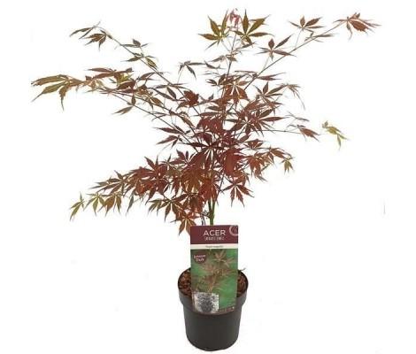 Acer Palmatum Sumi-nagashi Ø19cm H40 cm
