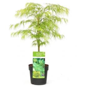 Acer Palmatum Dissectum Ø19cm H40 cm