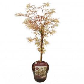 Acer Palmatum  Garnet Ø19cm H40 cm