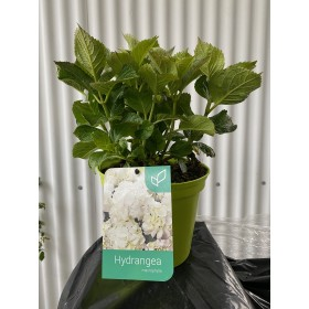 Hortensia Blanca ( Hydrangea Macrophylla) 3L