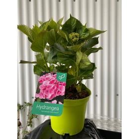 Hortensia Rosa (Hydrangea Macrophylla) 3L