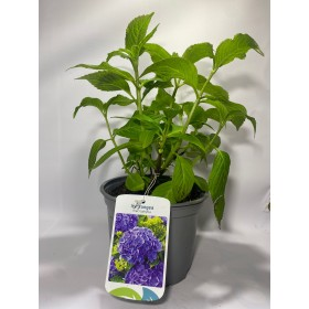 Hortensia Azul (Hydrangea Macrophylla) 3L