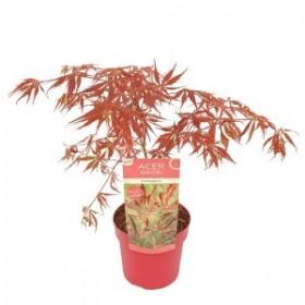 Acer Palmatum Extravaganza Ø19cm H40 cm