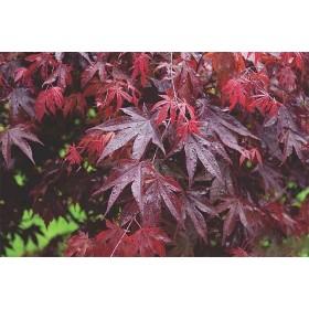 Acer Palmatum Bloodgood Ø19cm H40 cm