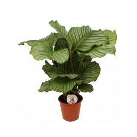 Calathea Orbifolia Ø19cm H 50cm