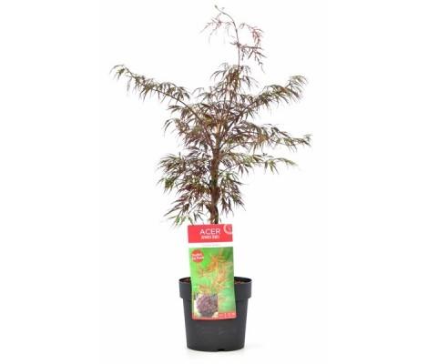 Acer palmatum dissectum Firecracker Ø19cm H40 cm