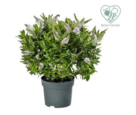 Hebe o Verónica flor blanca  Ø12 cm H30 cm