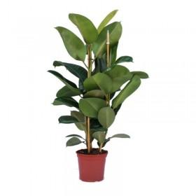 Ficus Robusta  Ø 24 cm H 1,20 cm