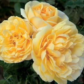 Rosal Perfumado MICHELANGELO ® Meitelov  MEILLAND