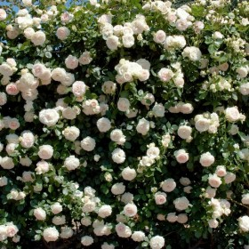 Rosal Perfumado  Grimpant PALAIS ROYAL ® Meiviowit MEILLAND