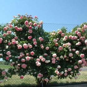 Rosal Perfumado Grimpant PIERRE DE RONSARD ® Meiviolin MEILLAND