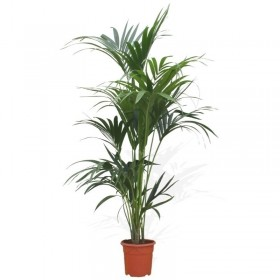 Kentia (Howea Forsteriana)
