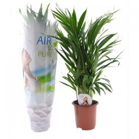 Areca (Dypsis lutescens) Ø14 cm H50 cm