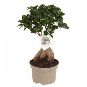 Ficus Ginseng Bonsai Ø15 cm H40 cm