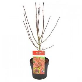 Acer Palmatum Shaina Red Ø19 cm H70 cm