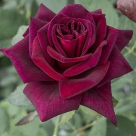 Rosal Black Baccara  Perfumela
