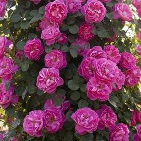 Rosal Grimpant ALLEGRO ®