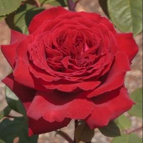 Rosal Botero ®