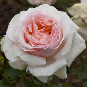 Rosal  Andre Le Notre ® Meilland