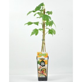 Planta Frambuesa Amarilla