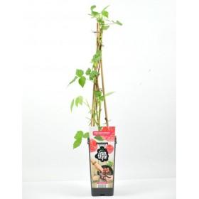Planta Frambuesa Roja