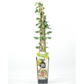 Planta Grosella Blanca
