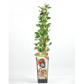 Planta Grosella Roja