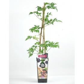 Planta Mora