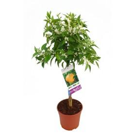 Mandarino maceta  Ø20cm