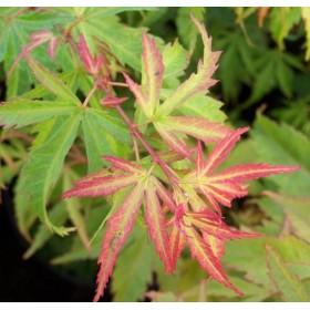 Acer palmatum 'Wilson's Pink Dwarf' (Arce japonés) Ø19 cm H45 cm