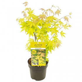 Arce japonés 'Orange Dream'® (Acer palmatum) Ø10 cm H20 cm