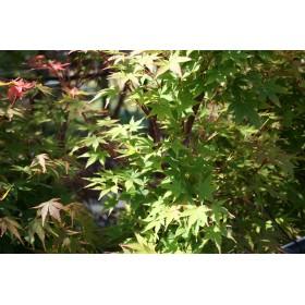 Arce japonés Sango Kaku (Acer palmatum) Ø19 cm H30 cm