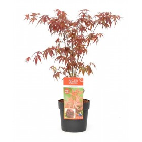 Arce japonés 'Atropurpureum' (Acer palmatum) Ø10 cm H20 cm