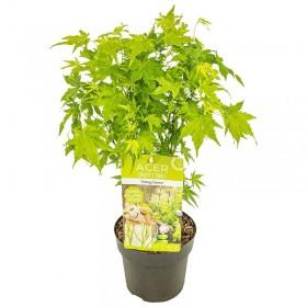 Arce japonès 'Going Green'® (Acer palmatum)  Ø10 cm H20 cm