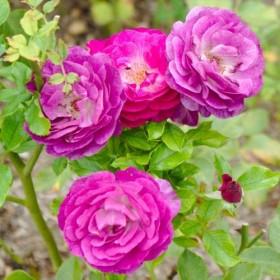 Rosal Trepador Mini Eden Rose