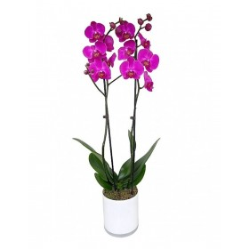 Orquidea Phalaenopsis Fucsia 2 tallos en maceta 12cm