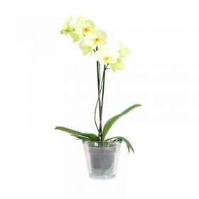Orquidea Phalaenopsis Amarilla 2 tallos en maceta 12cm