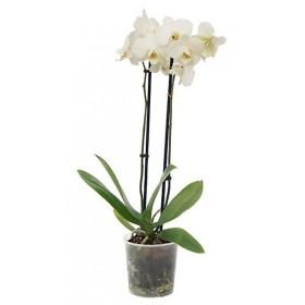Orquidea Phalaenopsis Blanca 2 tallos en maceta 12cm