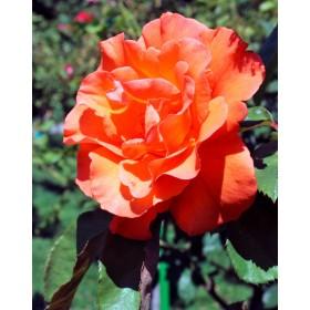 Rosal Doris