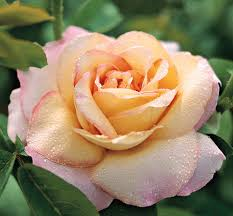 rosal perfumado online